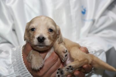 ミニチュアダックスクリーム(イエロー)の子犬オス、生後3週間画像