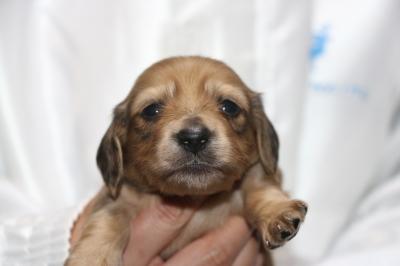 ミニチュアダックスレッドの子犬オス、生後3週間画像