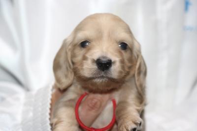 ミニチュアダックスクリーム(イエロー)の子犬メス、生後3週間画像