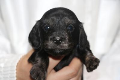 ミニチュアダックスブラッククリーム(イエロー)の子犬メス、生後3週間画像
