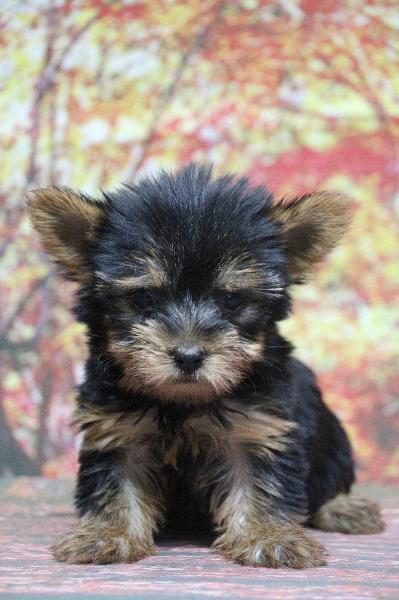 ヨークシャテリアの子犬メス、生後2ヵ月画像