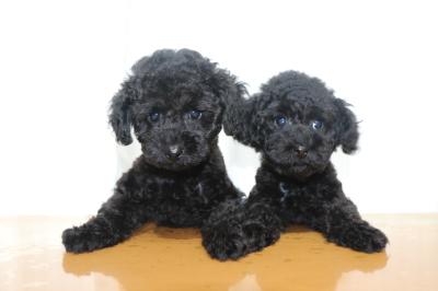 トイプードルブラック(黒色)の子犬オスメス、生後2ヵ月画像