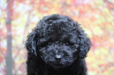 トイプードルブラック(黒色)の子犬オス、生後2ヵ月画像