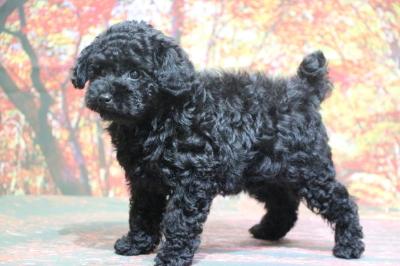 トイプードルブラック(黒色)の子犬メス、生後2ヵ月画像