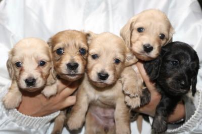 ミニチュアダックスの子犬オス2頭メス3頭、生後4週間画像