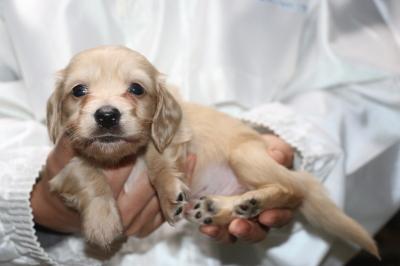ミニチュアダックスクリーム(イエロー)の子犬オス、生後4週間画像
