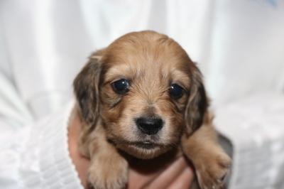 ミニチュアダックスレッドの子犬オス、生後4週間画像