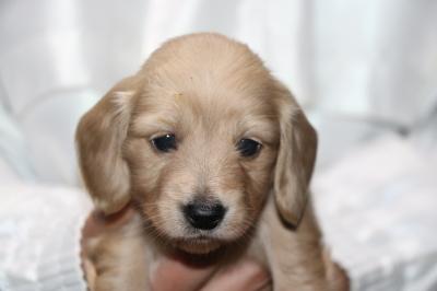 ミニチュアダックスクリーム(イエロー)の子犬メス、生後4週間画像