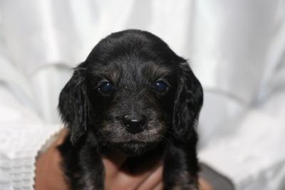 ミニチュアダックスブラッククリーム(イエロー)の子犬メス、生後4週間画像