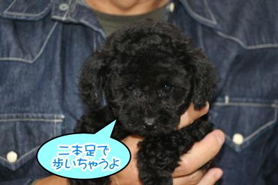東京都調布市トイプードルブラック(黒色)の子犬オス、ふうた君画像