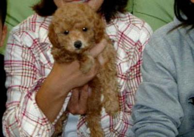 東京都調布市トイプードルレッドの子犬メス、カリンちゃん画像