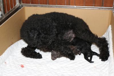 トイプードルブラウンオスブラック(黒色)メスの子犬、産まれたばかり画像