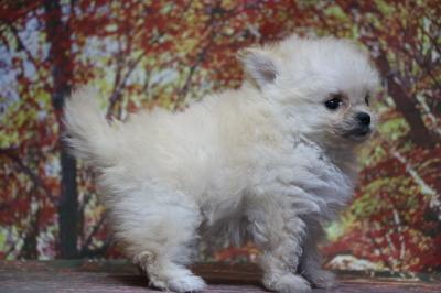 チワプークリームの子犬メス、生後7週間画像