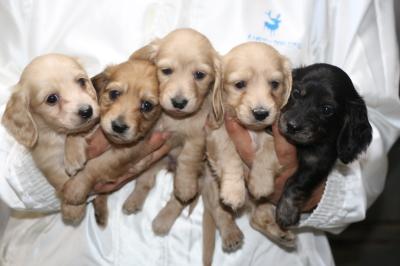 ミニチュアダックスの子犬オス2頭メス3頭、生後5週間画像