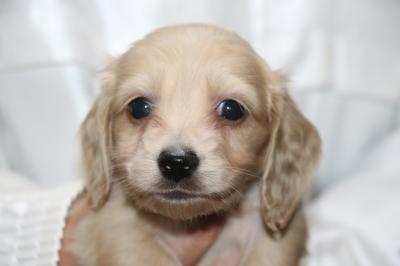 ミニチュアダックスクリーム(イエロー)の子犬スオス、生後5週間画像