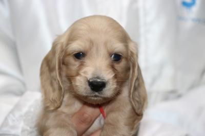 ミニチュアダックスクリーム(イエロー)の子犬のメス、生後5週間画像