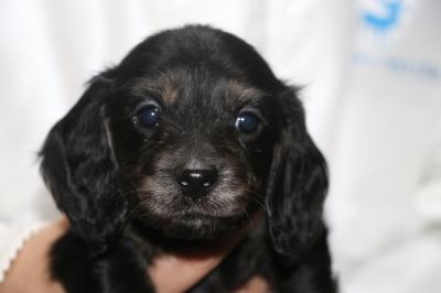 ミニチュアダックスブラッククリーム(イエロー)の子犬のメス、生後5週間画像