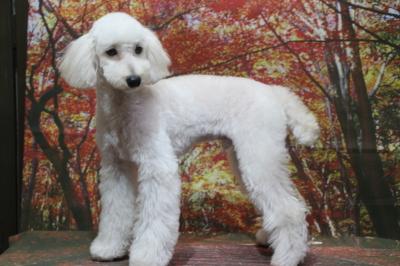 トイプードルホワイト(白色)の子犬オス、東京都練馬区春太郎君画像