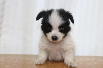 パピヨン白黒(ホワイト&ブラック)の子犬オス、生後8週間画像