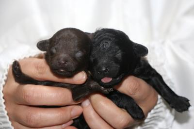 タイニープードルの子犬、ブラウンオスブラック(黒色)メス、生後1週間画像