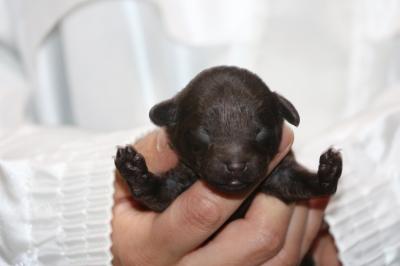 タイニープードルの子犬、ブラウンオス、生後1週間画像