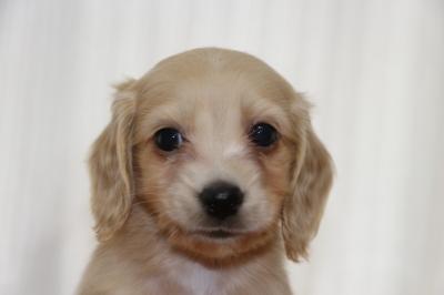 ミニチュアダックスクリーム(イエロー)の子犬オス、生後6週間画像