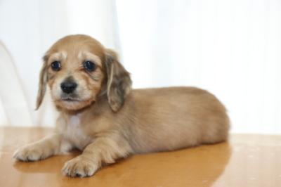 ミニチュアダックスレッドの子犬オス、生後6週間画像