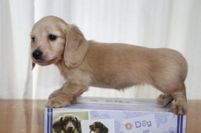 ミニチュアダックスクリーム(イエロー)の子犬メス、生後6週間画像