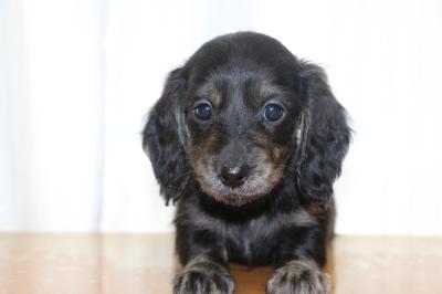 ミニチュアダックスブラッククリーム(イエロー)の子犬メス、生後6週間画像