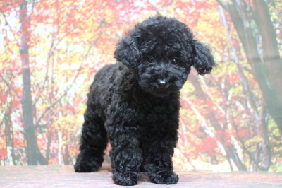 トイプードルブラック(黒色)の子犬メス、大阪府大阪市みのりちゃん画像