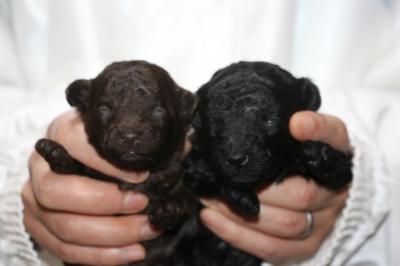 トイプードルの子犬、ブラウンオスブラック(黒色)メス、生後2週間画像