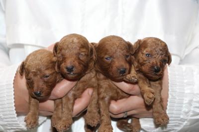 トイプードルレッドの子犬オス3頭メス1頭、生後2週間画像