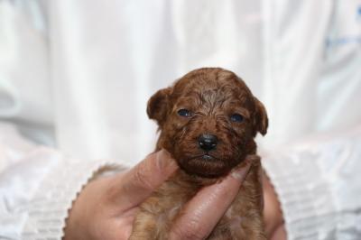 ティーカッププードルレッドの子犬メス、生後2週間画像
