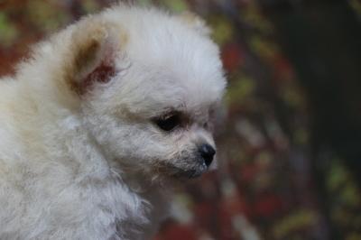 チワプークリームの子犬メス、生後2ヵ月画像