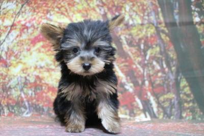 ヨークシャテリアの子犬メス、北海道ショコラちゃん画像
