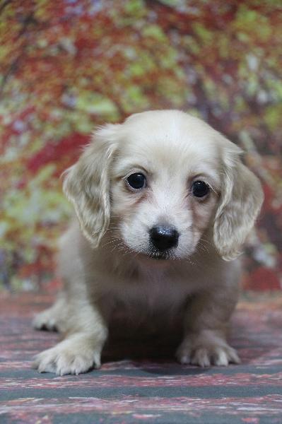 ミニチュアダックスクリーム(イエロー)の子犬オス、生後7週間画像