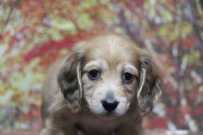 ミニチュアダックスレッドの子犬オス、生後7週間画像