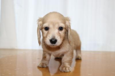 ミニチュアダックスクリーム(イエロー)の子犬メス、生後7週間画像