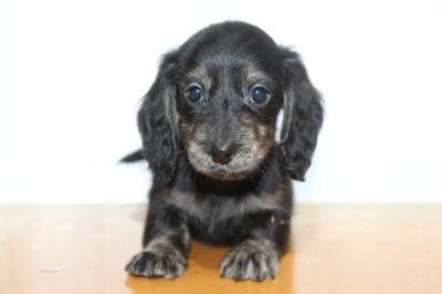 ミニチュアダックスブラッククリーム(イエロー)の子犬メス、生後7週間画像