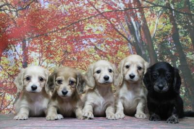 ミニチュアダックスの子犬オス2頭メス3頭、生後7週間画像