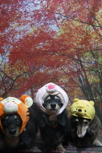 千葉県鎌ヶ谷市のミニチュアダックスのトリミング画像