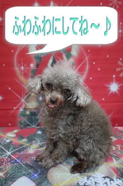 トイプードルブリーダー成犬、トリミング前画像