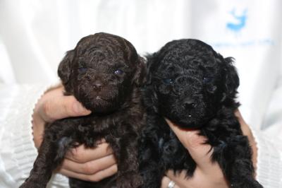 トイプードルの子犬、ブラウンオスブラック(黒色)メス、生後3週間画像
