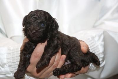 タイニープードルブラウンの子犬オス、生後3週間画像