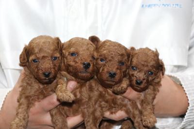 トイプードルレッドの子犬オス3頭メス1頭、生後3週間画像