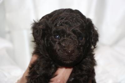 タイニープードルブラウンの子犬オス、生後4週間画像