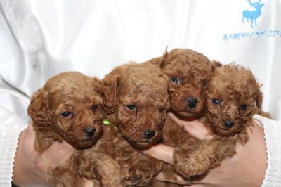 トイプードルレッドの子犬オス3頭メス1頭、生後4週間画像