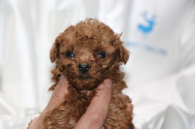 ティーカッププードルレッドの子犬メス、生後4週間画像