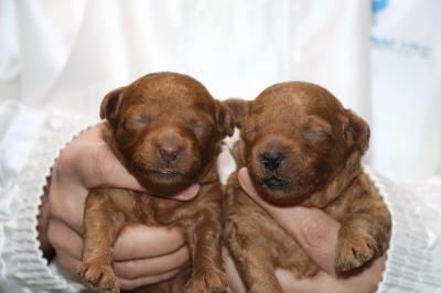 トイプードルレッドの子犬オスメス、生後2週間画像