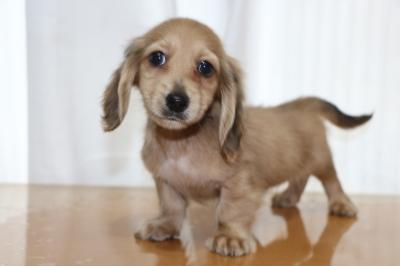 ミニチュアダックスのレッドの子犬オス、生後2ヵ月画像